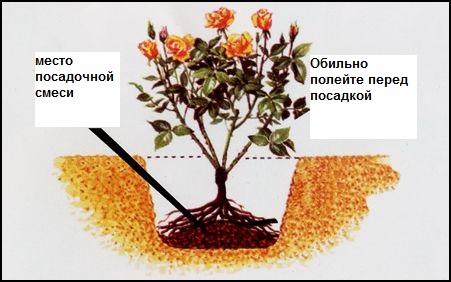 как правильно сажать розы