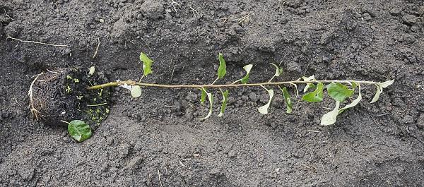 Выращивание саженцев яблони из черенков 69