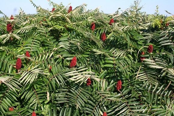Сумах оленерогий выращивание 99