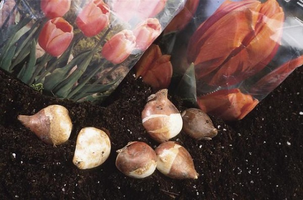 Тюльпаны из луковиц как сажать 76