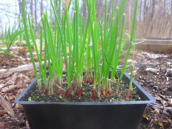 Выращивание лука-порея через рассаду 32